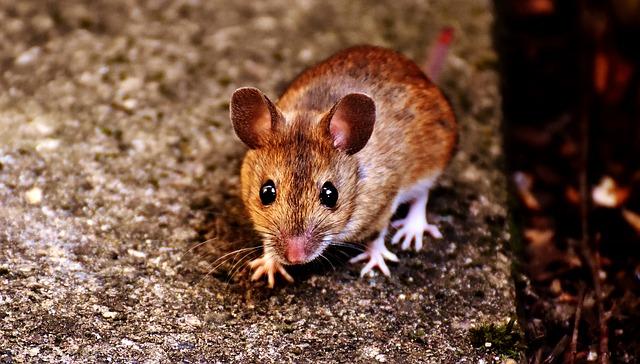 כמה דברים שכדאי לדעת על עכברים