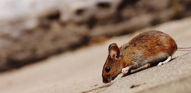 לוכדי עכברים –מדוע חשוב להזמין אנשי מקצוע