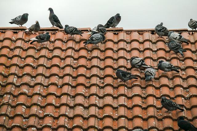 גירוש יונים מגג רעפים – האם זה הכרחי ואיך עושים את זה?