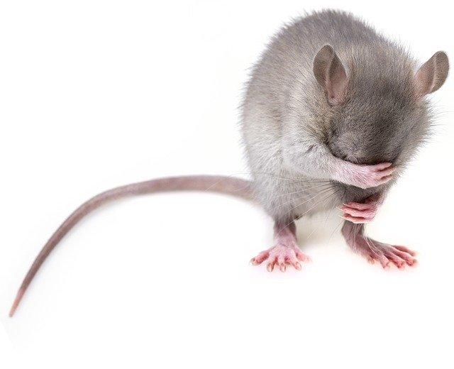 קקי של עכברים